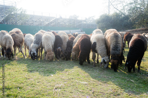 Canvastavla Flock of Domestic Sheep, Ewe, Lamb, Ram (Ovis aries species genus) grazing in a sheep farm in Summer Sunset