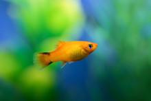 Close Up Of Orange Color Platy...
