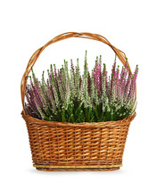 Heather Flowers In Woven Basket Isolated On White Background