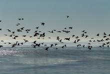 Geese. Flock Of Canadian Geese...