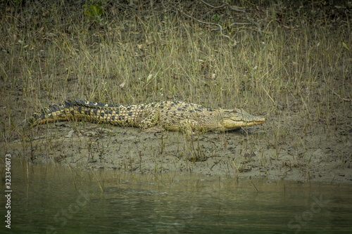 Crocodile at Sundarban Wallpaper Mural