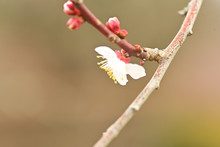 The Plum Blossoms Are In Full ...