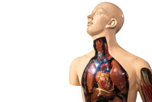 Natomy Male Body Chest And Abd...