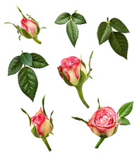 Set Of Pink Rose Buds And Gree...