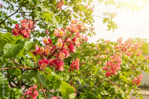 Aesculus red chestnut tree blossoms close-up Wallpaper Mural