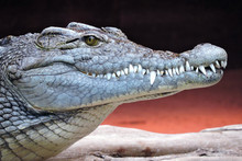 A Close-up Of Crocodile Head And Its Sharp Teeth