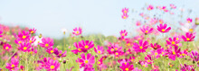 Pink Cosmos Flowers Blooming I...