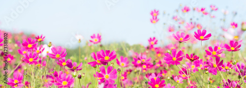Photo pink cosmos flowers blooming in a field