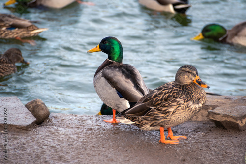 Closeup Shot of Two Standing Male and Female Wood Ducks with Selective Focus on the Colorful Male Canvas Print
