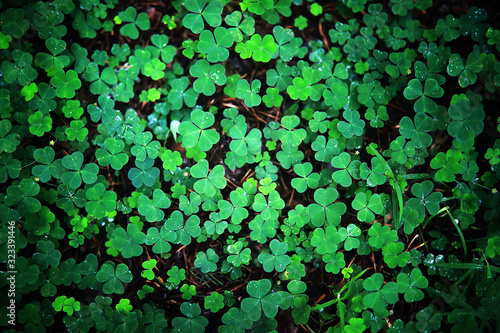 Background from plant clover four leaf. Irish traditional symbol. St.Patrick 's Day. - 323391446