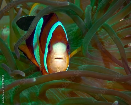 Fotografie, Obraz Clarkes Anemonefish (Amphiprion clarckii) in Malapascua, Philippines