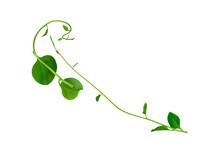 Heart Shaped Leaves Vine, Devi...
