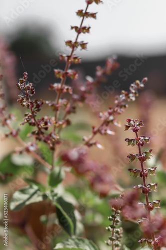 Photo Basil (Ocimum sanctum)