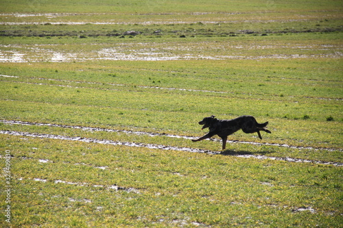 Beauceron dog having fun in puddles in the meadow