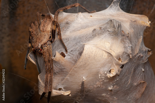 Photo Rain spider, Palystes castaneus, on her nest of eggs