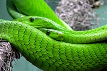 Two Green Mambas In A Tree