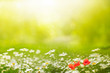 In the summer, outdoors, the background is a meadow with daisies and wild poppy. Wonderful morning light and mood. Space for text.