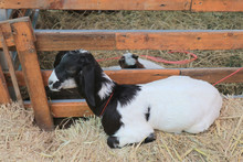 A Black And White Goat Sleepin...