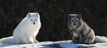 Two Arctic Fox In Nature Durin...
