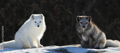 Photo two arctic fox in nature during winter