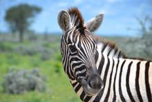 Close-up Of Zebra In Etosha National Park In Namibia, Africa