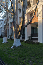 Big Plane Tree And Front Of Building.