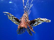 Common Lionfish (pterois Miles...
