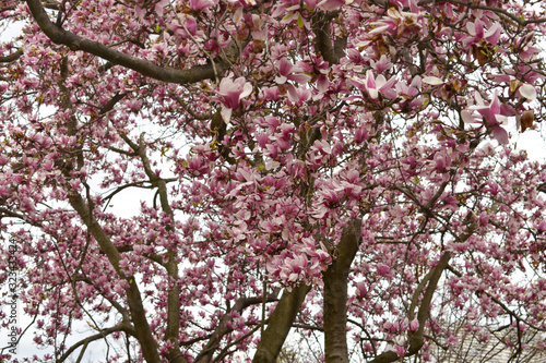 Close Up of A Large Tree With Pink Petals
