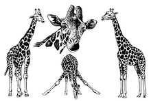Graphical Set Of Giraffes Isol...