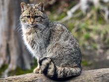 European Wild Cat, Felis S. Silvestris, Sitting On A Trunk Watching The Surroundings