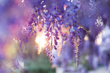 Wisteria Flowers Blooming In G...