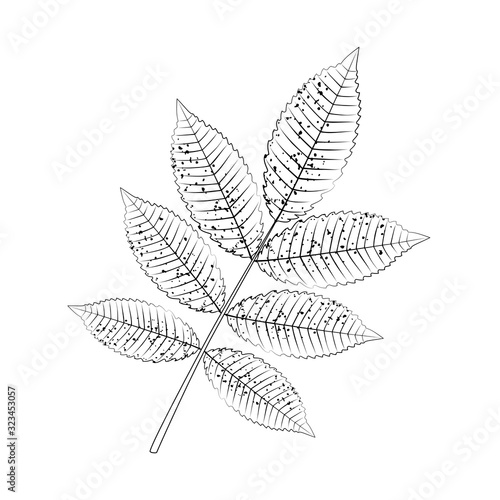 Cuadros en Lienzo Outlined ash leaf, sketch for coloring.
