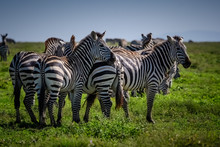 Group Of Zebras Grazing On The Grasslands Of The Serengeti, Tanzania Africa