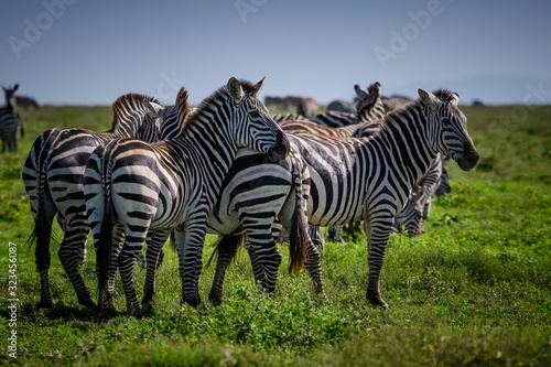 Group of zebras grazing on the grasslands of the Serengeti, Tanzania Africa Canvas Print