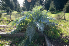 Cardoon Growing In Garden (cynara Cardunculus)