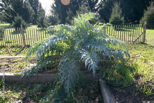 cardoon growing in garden (cynara cardunculus) Fototapeta
