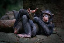 The Chimpanzee (Pan Troglodyte...