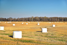 Agricultural Field With White Big Bags, Autumn Clear Sunny Day Blue Sky, Harvest