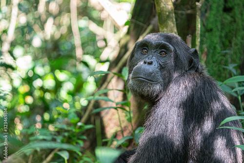 Fotografía uganda kibale forest chimp chimpanzee