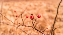 Macro Wild Rose Hips In Natura...