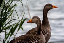 Greylag Geese At The Lake