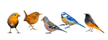 Isolated Bird Set. White Background. Birds: Robin, Wren, Chaffinch, Blue Tit, Black Redstart.