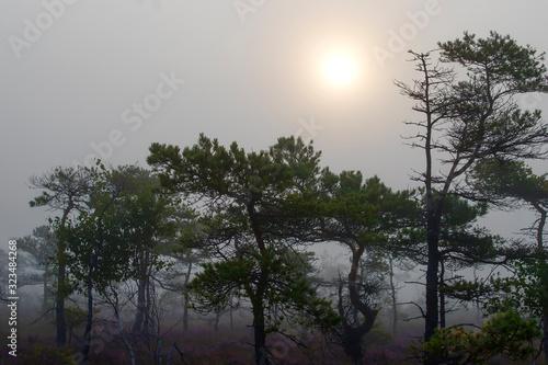 Fototapeta pines and sun in swamp,early morning,mist obraz na płótnie