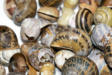 Collection Of Empty Snail Shells On A White Background