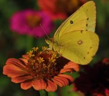 Sulfur Butterfly On A Bright Orange Flower