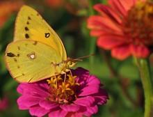 Sulphur Butterfly On A Pink Flower