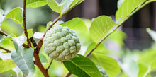Sugar-apple Hang On The Tree.