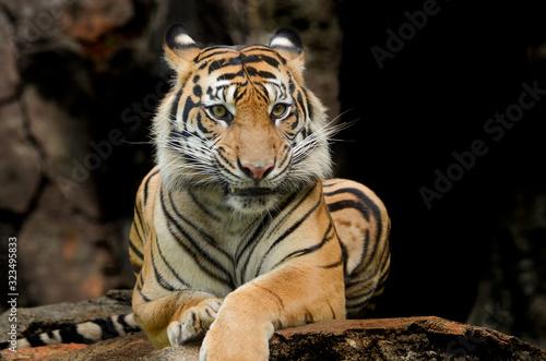 Naklejki tygrys   tygrys-sumatrzanski-w-roznych-pozach