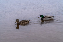 Flocks Of Wild Ducks Live In The Gulf Of Finland Near The Peterhof Fountains.