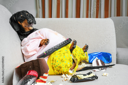 Obraz fat dog couch potato eating a popcorn, chocolate, fast food and fell asleep watching television. Parody of a lazy person. - fototapety do salonu